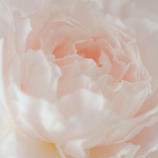 Rose_KP